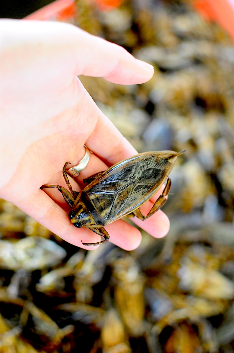A giant water bug. Photo: courtesy of Afton Halloran